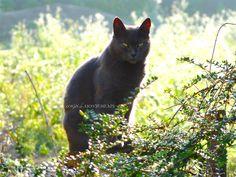 #chat #chats #chatgris #bleurusse #chartreux #mycats #ilovecats #inlovewithcats #pussycats #katz #cats #cat #graycats