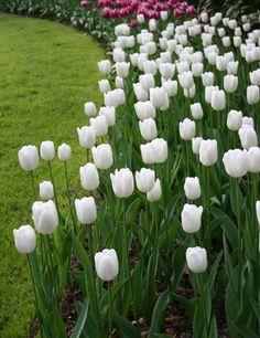 Tulipa 'White Dream' (WinterbergTriumph Tulip)