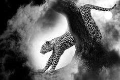 Leopard, Kissa, Petoeläin, Eläinten
