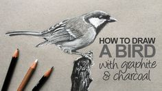 How to draw a realistic bird with graphite and white charcoal pencil.