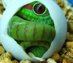 A Hatching Day Gecko When not in captivity, these beautiful creatures usually live in island ecosystems (Seychelles).
