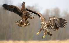 White tailed eagles fight for food in a meadow in Kutno, Poland. The claws came out as the bird's of prey brawled over some road-kill. Mario Severi, an assistant production manager, photographed the food fight during a trip to central Poland. Picture: Mario Severi/HotSpot Media