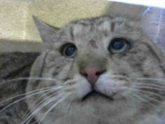 ID#A445302  I am described as a male, brown tabby Domestic Shorthair mix.  The shelter thinks I am about 3 years old.  I have been at the shelter since Jan 28, 2015 and I may be available for adoption on Feb 03, 2015 at 1:28PM. If you are interested in me, please visit me before this date.  If you think I am your missing pet, please call or visit right away. Otherwise, please visit me in person as shelter staff are busy caring for my needs.