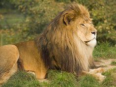 Wild, Lion, King, Game, Predator