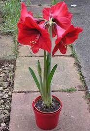amaryllis seeds,(not amaryllis bulbs), bonsai flower seeds hippeastrum Barbados Lily plant for home garden plant Amaryllis Care, Amaryllis Plant, Amaryllis Bulbs, Indoor Flowers, Indoor Plants, Home Garden Plants, House Plants, Flower Seeds, Flower Pots