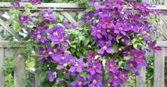 CARING FOR CLEMATIS: Clematis need 2 main ingredients to be happy and healthy in your garden. 1. The first is consistent moisture. Contr...