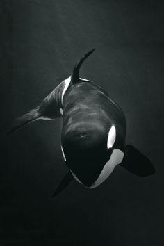 brazenbvll:  Killer Whale→ (©)