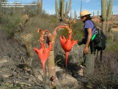 Foto de Slipper Vegetal (Pedilanthus macrocarpus)