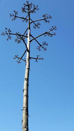 Este árbol sale luego de la vida final de la suculenta Agave