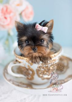 Micro Teacup Yorkie Puppy  www.TeaCupsPuppies.com