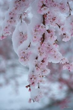 Pink blossoms cloaked in snow