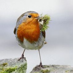 Robin collecting nest material by Mo Baker, via Flickr