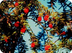 Follow the tap root of longevity and immortality by exploring the Celtic meaning of the yew here.