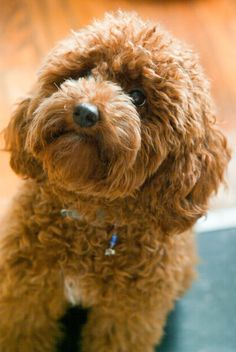 Red toy poodle. This may have to be our next little dog! So cute!