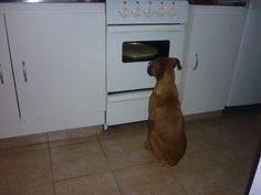 This Boxer is watching pizza. Ours did this when I baked chocolate chip cookies. And the drool pool in front of the oven was so bad...