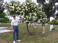 "Devoniensis - Fantastic heritage rose plant from an historic cemetery & a superb example of just how big and beautiful Devoniensis can get! Image by Jeri Jennings. Learn more about growing ""The Magnolia Rose"" here: http://forums.gardenweb.com/discussions/1577548/devoniensis-oh-the-agony-oh-the-ecstasy"