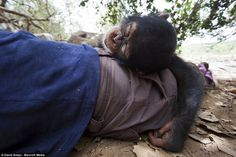 French photographer David Greyo said the baby chimpanzees, such as this one, all have different personalities