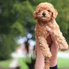 Cuteness has arrived! Hug A Puppy has Teddy Bear Toy Poodle puppies available! #toypoddle #teddybeartoypoodle! #poodlepuppy