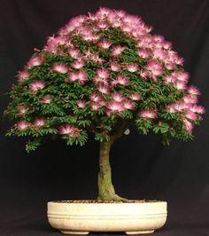 20 Mimosa (Albizia Julibrissin) Seeds, Rare Exotic Home Bonsai Tree Seeds #MimosaExoticHomeBonsaiTreeSeeds