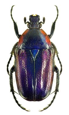 Raceloma natalensis #Beetles