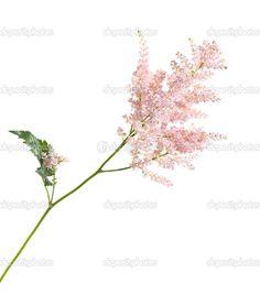 Astilbe Bouquet, Bouquets, Photo Lighting, Dandelion, Flowers, Plants, Pink, Image, Floral Designs