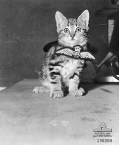 "CRESSY, VIC. 1943-03-24. A CAT CALLED ""AIRCREW"", THE MASCOT OF A ROYAL AUSTRALIAN AIR FORCE (RAAF) FLYING TRAINING SCHOOL."