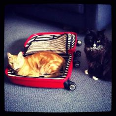 don't pack with cats and other helpful packing tips Travelling Tips, Packing Tips For Travel, Traveling, Packing Lists, Big House Cats, Birthday Cake For Cat, Teacup Cats, Cat Crying, Cats And Cucumbers