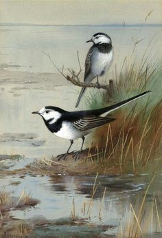 Watercolors of birds by Archibald Thorburn (Scottish, 1860–1935).
