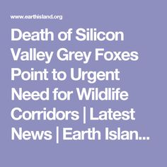 Death of Silicon Valley Grey Foxes Point to Urgent Need for Wildlife Corridors   Latest News   Earth Island Journal   Earth Island Institute