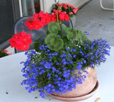 Geraniums and Lobelia...two plants I use yearly. Love the bold colors together here!