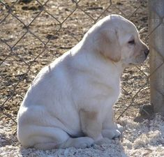 Mind Blowing Facts About Labrador Retrievers And Ideas. Amazing Facts About Labrador Retrievers And Ideas. Golden Retriever, Chocolate Labrador Retriever, Labrador Retriever Dog, Labrador Yellow, Yellow Lab Puppies, Cute Puppies, Cute Dogs, Dogs And Puppies, Doggies