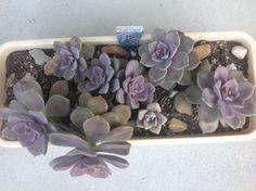 Graptoveria Purple Delight