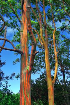 Hawaiian Rainbow Eucalyptus Trees – The phenomenon is caused by patches of bark peeling off at various times and the colors are indicators of age. A newly shed outer bark reveals bright greens which darken over time into blues and purples and then orange and red tones.