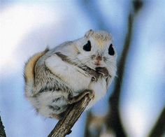 The Japanese dwarf flying squirrel is one of two species of Old World flying squirrels. It is native to Japan where is inhabits sub-alpine forests and boreal evergreen forests on Honshu and Kyushu islands. Wikipedia Scientific name: Pteromys momonga Animals Images, Animals And Pets, Animal Pictures, Baby Animals, Cute Animals, Flying Squirrel Pet, Japanese Dwarf Flying Squirrel, Dwarf Hamsters For Sale, Chipmunks