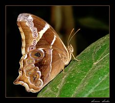 Beautiful Bamboo Treebrown  buttterfly (East India) by photographer Sumon Sinha, Treknature.com.