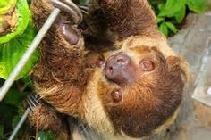Tropical Rainforest Sloth - Bing images