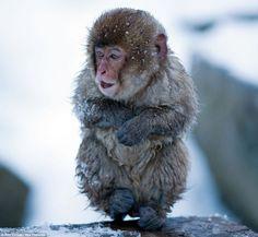 Majmok forró fürdő közben  Monkeys in hot tube :)