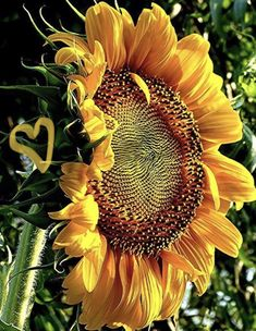 ☀️ sunflower