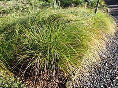 Carex solandri 13 Commercial Landscaping, Fresh Green, Green Leaves, Restoration, Coastal, Herbs, Grasses, Landscape, Nature