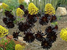 Aeonium arboreum 'Zwartkopf' (Black Rose) is a striking succulent with clumps up to 3 feet (90 cm) tall gray-brown stems that often branch near their base. The long, bare stems hold large terminal rosettes (up to 8 inches/20 cm in diameter) of very dark purple, almost black leaves. Large conical...