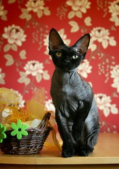 Love this breed! Hope to have one in the future! Black donskoy cat!