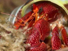 Coenobita perlatus hermit crab species description page Crab Species, Sand Fleas, Hermit Crabs, Sea Creatures, Lobsters, The Incredibles, Squat, Steven Universe, Reptiles