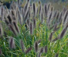 Pennisetum 'Ginger Love' - Fizzy red flowers explode from vigorous clumps of this durable, long-lived perennial and last from late summer through fall. This plant thrives in a variety of soils, but grows best with good drainage. Deadhead in late fall to limit reseeding. Plant Name: Pennisetum 'Ginger Love' Growing Conditions: full sun to part shade Size: 2-3 tall & wide Zone: 5-9 Grow it with: purpletop verbena & anemones
