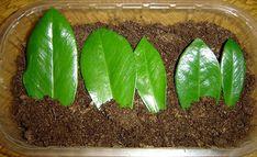 Bouturez les folioles du zamioculcas dans un mélange très filtrant. ©Dr