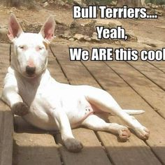 Bull Terriers are the best Mini Bull Terriers, Miniature Bull Terrier, English Bull Terriers, Bull Terrier Dog, Best Dog Breeds, Best Dogs, I Love Dogs, Cute Dogs, Pugs