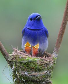 Beautiful Black-Naped Monarch and her hungry babies🐛🐣 | Photography by…