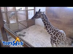 Watch live: April the giraffe's live video feed is back up! | FOX2now.com