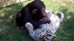 Chimp, tigers and wolf playing together?  So unbelievably cute! http://funnyanimalphoto.com/funny-videos/chimp-tigers-and-wolf-playing-together/