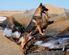 Von Der Norsdee German Shepherd Breeder MA- Puppies Available German Shepherd Breeders, German Shepherds, Schaefer, Belgian Malinois, Dog Runs, Cute Friends, My Animal, Animal Pics, Service Dogs