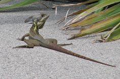 Brown Basilisk Lizard in Florida